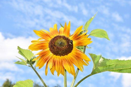 Sunflower, Petals, Flower, Bee, Bloom, Yellow, Nature