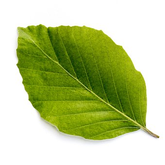 Leaf, Tree, Forest, Nature, Green, Beech