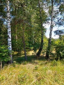 Forest, Birch, Trees, Leaves, Foliage, Green, Grass