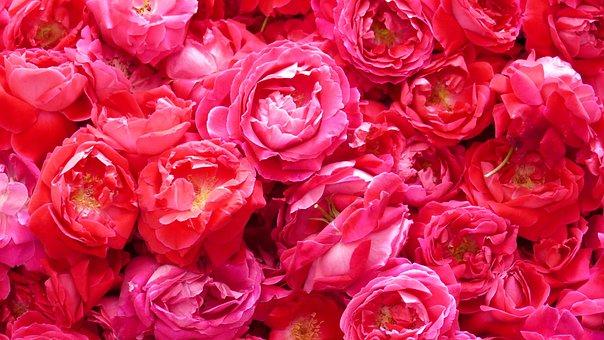 Flowers, Petals, Rose, Blossom, Bloom, Detail, Texture