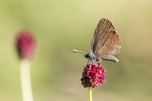 Butterfly, Insect, Wings, Antennae, Bug, Flower, Petals