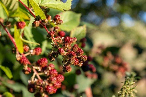 Berries, Bush, Fruit, Leaves, Foliage, Bramble, Nature