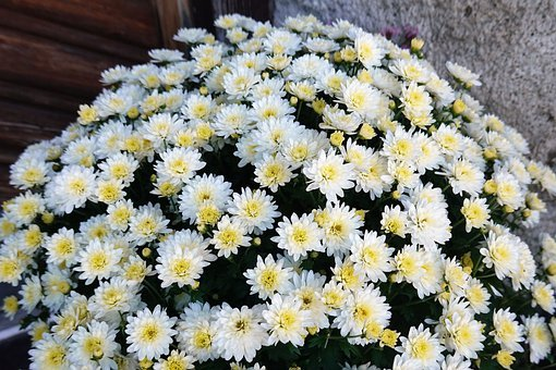 White Flowers, Chrysanthemum, Mums, Bunch, Bouquet
