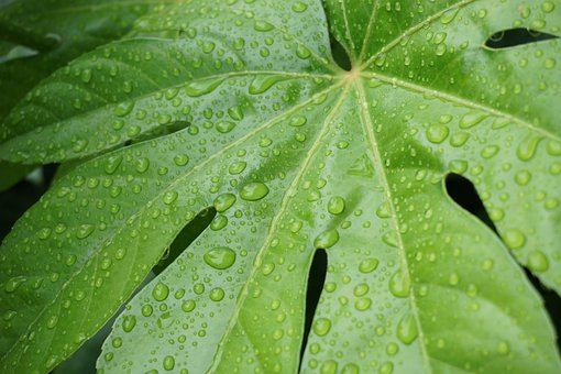 Plant, Leaves, Foliage, Dew, Water, Drops