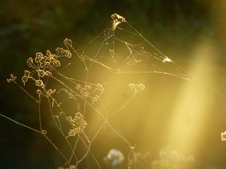 Flowers, Plants, Golden Hour, Web, Spiderweb, Evening
