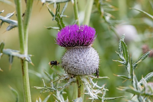 Thistle, Insect, Blossom, Bloom, Plant, Flower