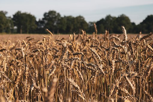 Wheat, Field, Wheat Field, Grain, Farm, Nature, Summer