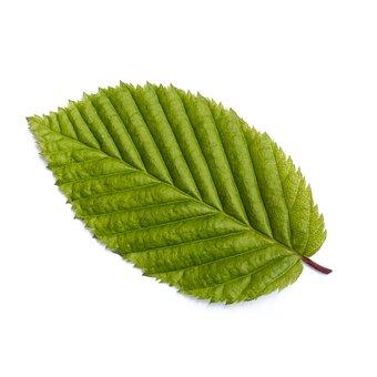 Leaf, Tree, Forest, Nature, Green, Hornbeam