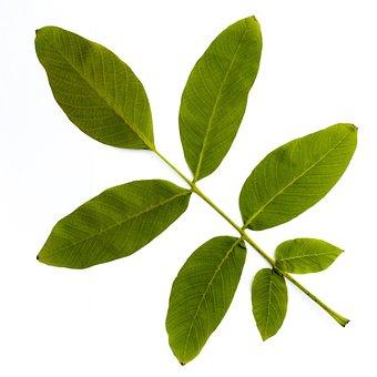 Leaf, Tree, Leaves, Forest, Nature, Green, Nut, Walnut