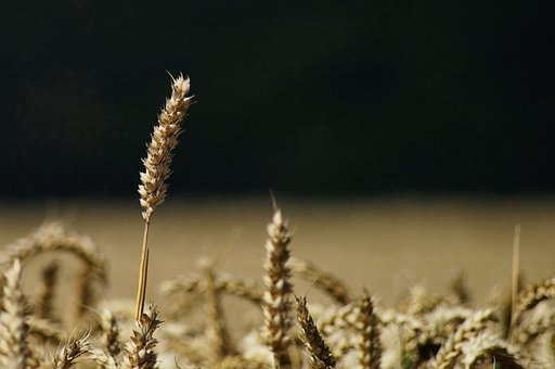 Wheat, Wheat Field, Cereals, Halm, Agriculture, Plant
