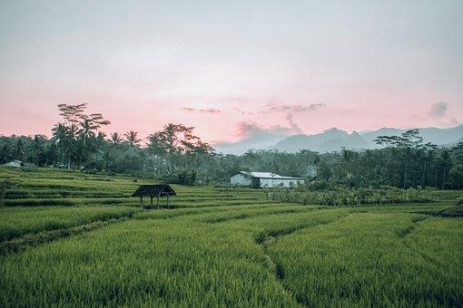 Field, Nature, Landscape, Paddy, Rice Field, Rice Paddy