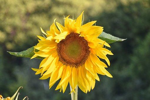 Sunflower, Petals, Leaves, Foliage, Blossom, Bloom
