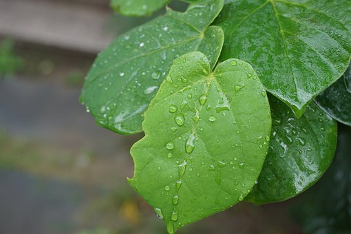 Plant, Leaves, Foliage, Dew, Water, Drops, Green