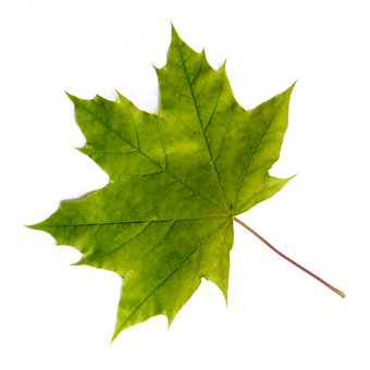 Leaf, Maple, Tree, Forest, Nature, Green, Cut-out