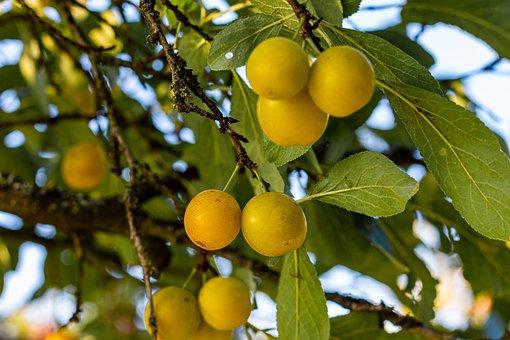 Tree, Fruit, Garden, Mirabelle Plum Tree, Ripe, Juicy