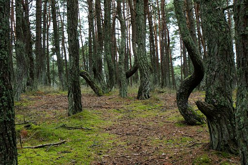 Forest, Trees, Pine, Moss, Mossy, Baltika, Reserve