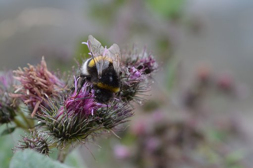 Bumblebee, Insect, Thistle, Nature, Plant, Bombus