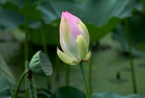 Flower, Lotus, Bud, Plant, Bloom, Pond, Nature, Blossom