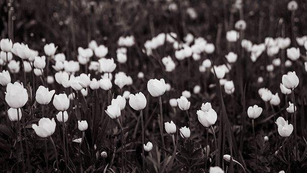 Flowers, Petals, Field, Meadow, Tulips, Flora