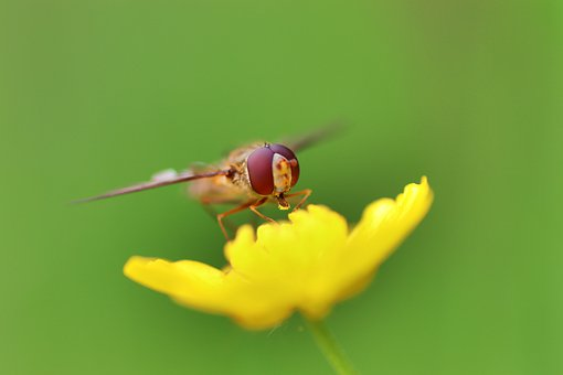 Fly, Flower, Petals, Wings, Hover Fly, Insect, Nature