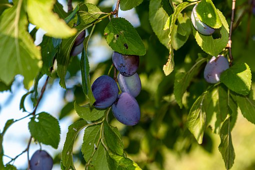 Plums, Tree, Fruit, Garden, Nature, Branch, Ripe, Plum