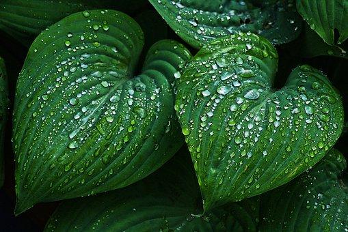 Leaf, Wet, Raindrop, Beaded, Drip, Sweetheart, Rain