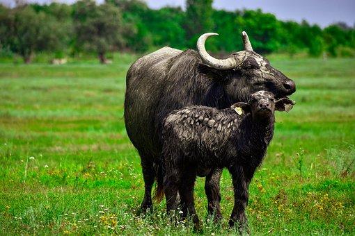 Buffalo, Calf, Ruminants, Horns, Wild, Grass, Animal