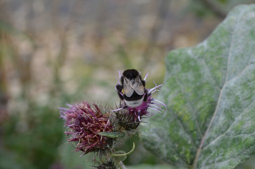 Bumblebee, Insect, Thistle, Plant, Nature, Bombus