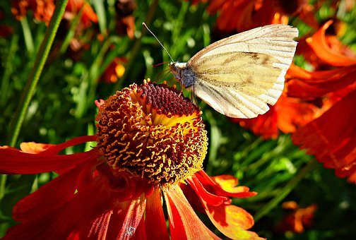 Butterfly, Insect, Wing, Antennae, Cone Flower, Petal