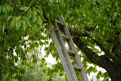 Ladder, Wood, Climbing, Harvest, Cherry, Tree