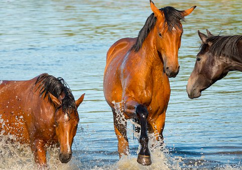 Horses, Bathing, Playing, Bath, Fun, Water, River