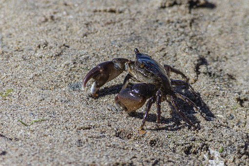 Crab, Crustacean, Beach, Sand, Panzer, Scissors, Nature