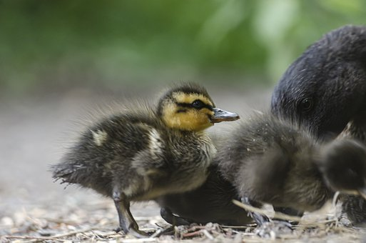 Duck, Duckling, Baby, Bird, Beak, Feathers, Plumage