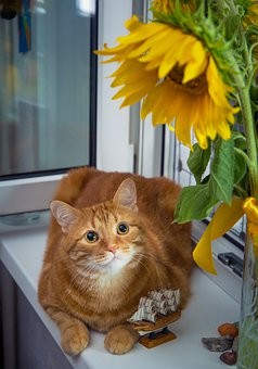 Cat, Kitty, Feline, Sunflower, Flower, Cute