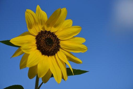 Sunflower, Yellow, Summer, Bloom, Flower, Plant