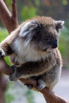 Koala, Marsupial, Mammal, Animal, Tree, Branch, Nature