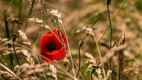 Poppy, Flower, Field, Grass, Nature, Meadow, Plant