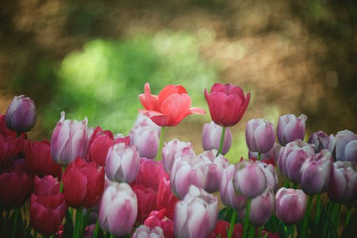 Tulips, Flowers, Flora, Nature, Summer