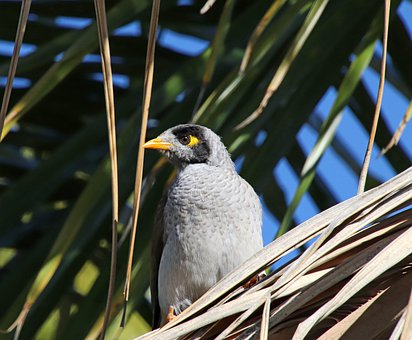 Bird, Beak, Feathers, Plumage, Wildlife, Noisy Miner