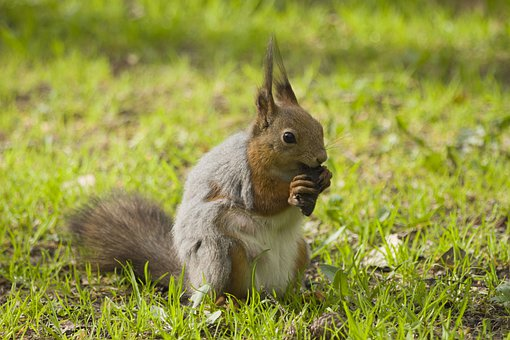 Squirrel, Nuts, Nutrition, Proteins, Rodent, Grass