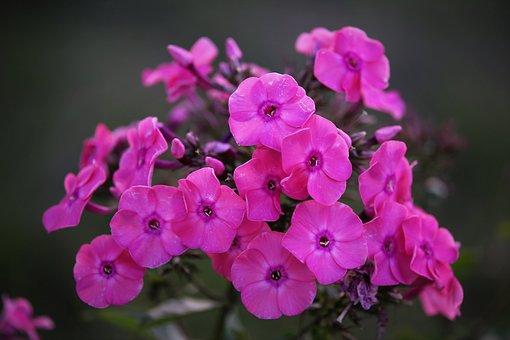 Phlox Flowers, Petals, Leaves, Foliage, Blooming, Pink