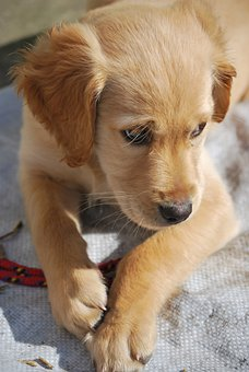 Lab Puppy, Puppy, Dog, Lab, Labrador, Domestic