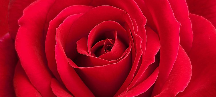 Rose, Red, Flower, Red Rose, Valentines Day, Romantic