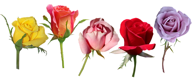 Flowers, Roses, Buds, Greeting Card, Decorations