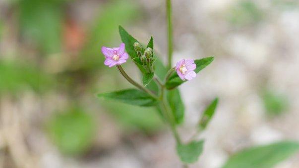 Anagallis Arvensis, Scarlet Pimpernel, Weed