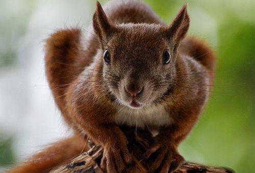 Squirrel, Animal, Red Squirrel