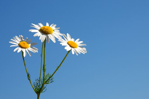 Daisy, Marguerite, Flowers, Nature, Beauty, Bloom