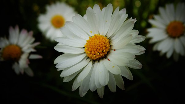 Daisy, Flower, Blossom, Bloom, Bellis Perennis