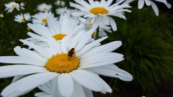 Bee, Daisy, Flowers, Pollen, Bloom, Blossom, Insect