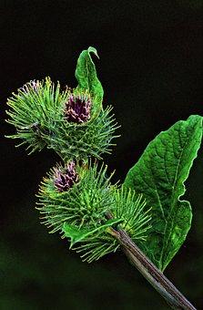 Burdock, Burdock Root, Arctium, Flower, Petals, Blossom